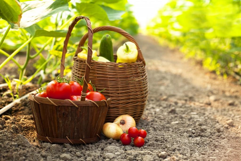Freshly harvested vegetables in baskets