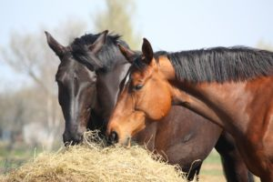 Black and brown horses eating hay