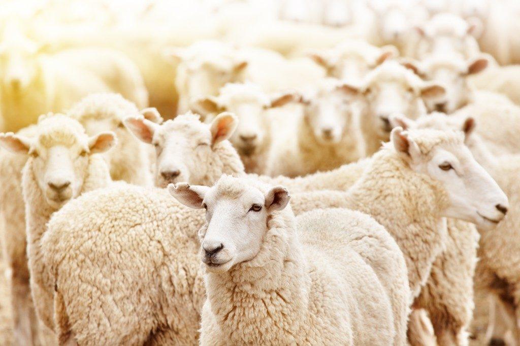 close up shot of sheeps at the farm